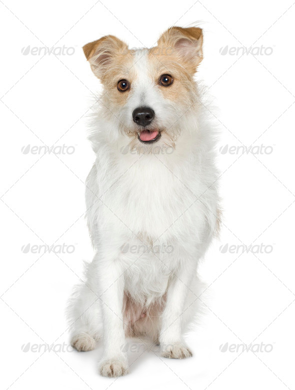 Jack russell  (18 months) - Stock Photo - Images