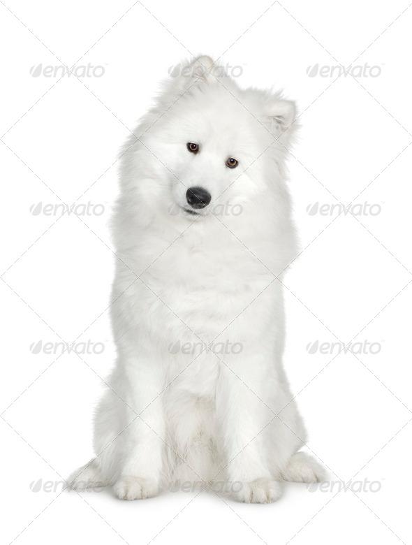 Samoyed  (6 months) - Stock Photo - Images
