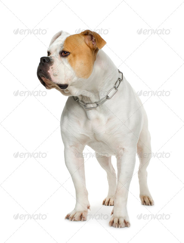 American Bulldog (4 years) - Stock Photo - Images