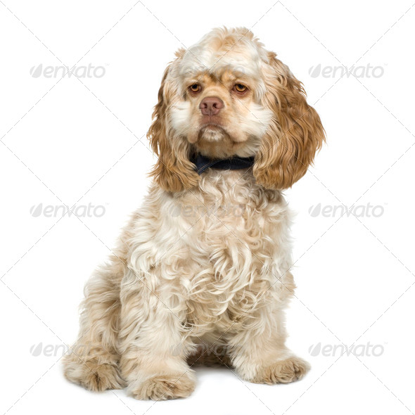 American Cocker Spaniel (8 months) - Stock Photo - Images