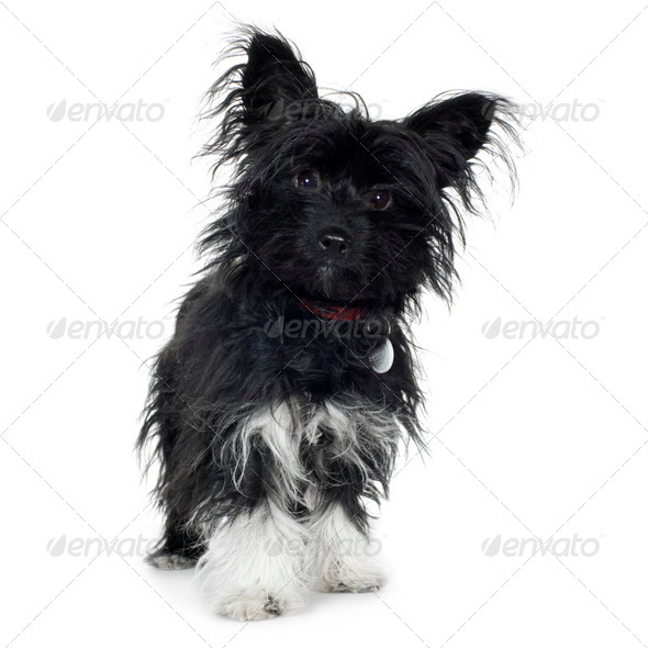 crossbreed (7 months) Yorkshire terrier and papillon - Stock Photo - Images