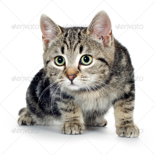 european kitten (3 months) - Stock Photo - Images