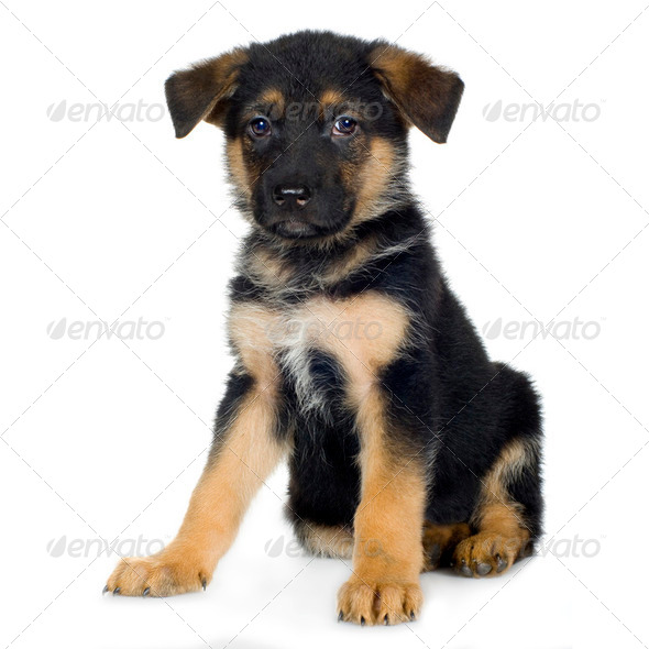 german shepherd (7 weeks)/ alsatian, police dog - Stock Photo - Images