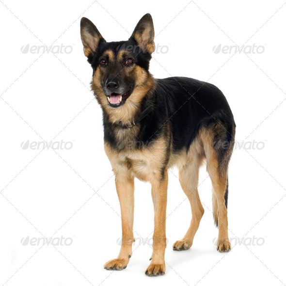 german shepherd (4 years)/ alsatian, police dog - Stock Photo - Images