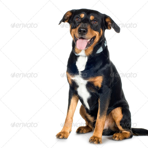 crossbreed Beagle and Rottweiler (6 years) - Stock Photo - Images