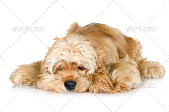 American Cocker Spaniel (7 months) - Stock Photo - Images
