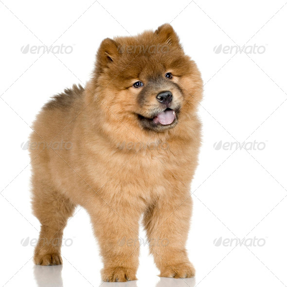 Cow chow (3 months) - Stock Photo - Images