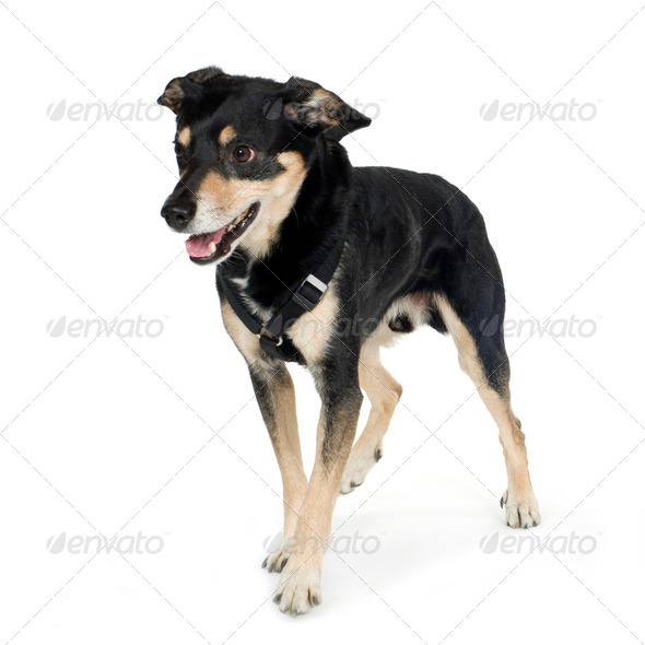 crossbreed German sheperd and rottweiler (6 years) - Stock Photo - Images
