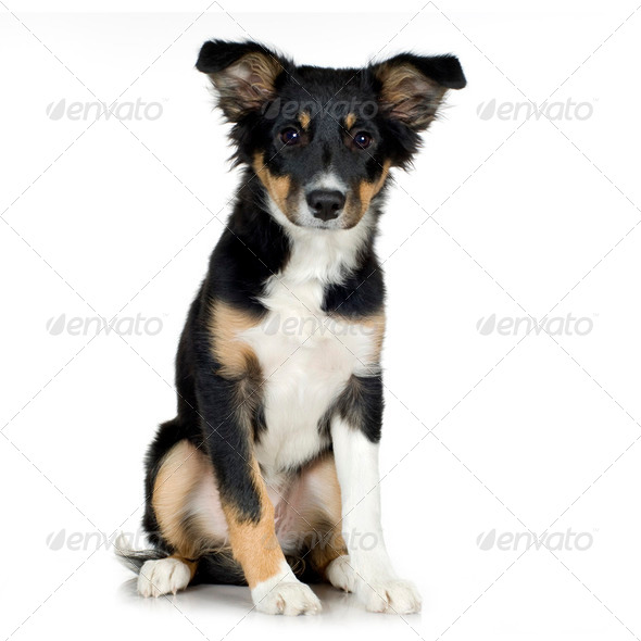 Border Collie (4 months) - Stock Photo - Images