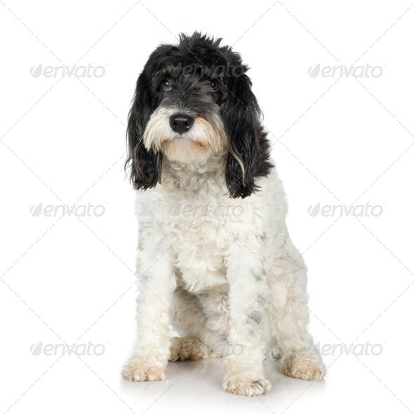Tibetan Terrier (3 years) - Stock Photo - Images