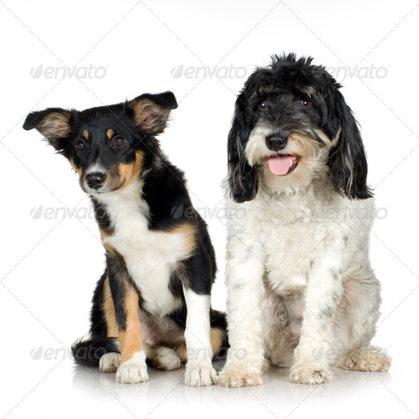 Tibetan Terrier (3 years) and puppy Border Collie (4 months) - Stock Photo - Images