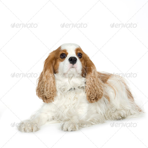 Cavalier King Charles Spaniel (4 years) - Stock Photo - Images