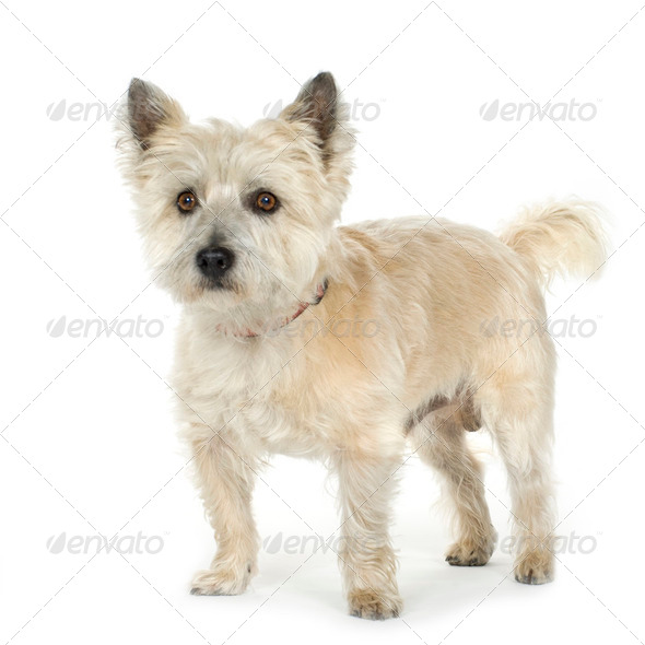 Cairn Terrier (11 years) - Stock Photo - Images