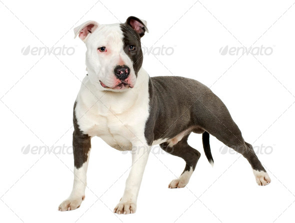 American Staffordshire terrier (7 months) - Stock Photo - Images