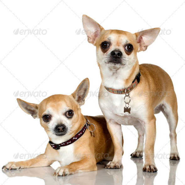 chihuahua (2 and 6 years) - Stock Photo - Images