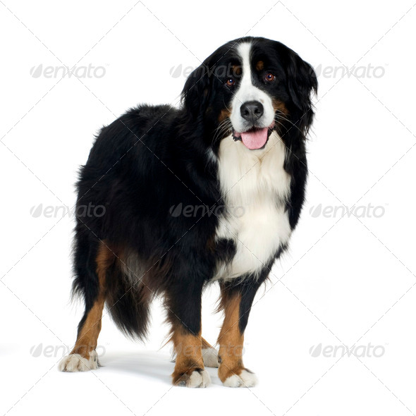Bernese mountain dog (4 years) - Stock Photo - Images