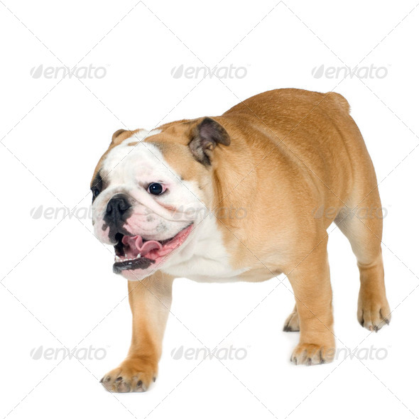 english Bulldog (6 months) - Stock Photo - Images