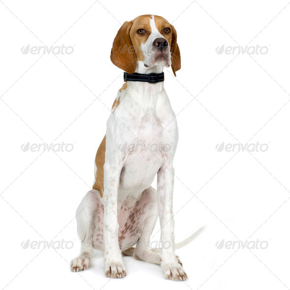 English Pointer (5 months) - Stock Photo - Images