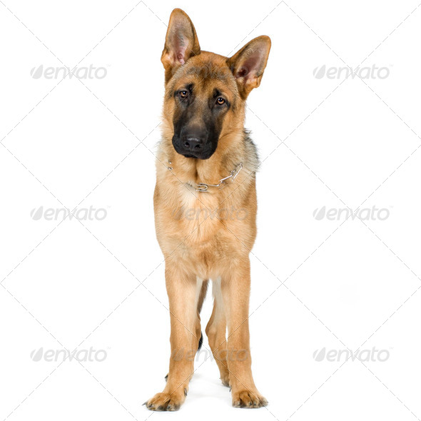 german shepherd (7 months)/ alsatian, police dog - Stock Photo - Images