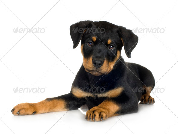 rottweiler (3 months) - Stock Photo - Images