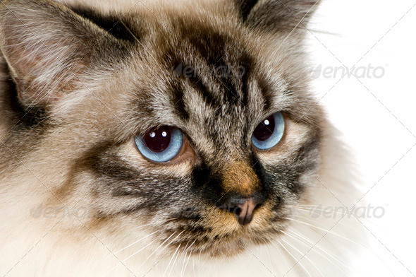Blu-tabby-point Birman (18 months) - Stock Photo - Images