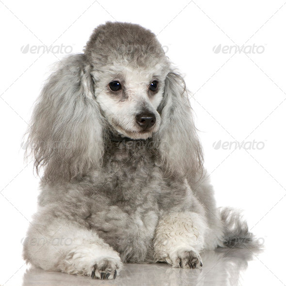 Poodle (13 months) - Stock Photo - Images