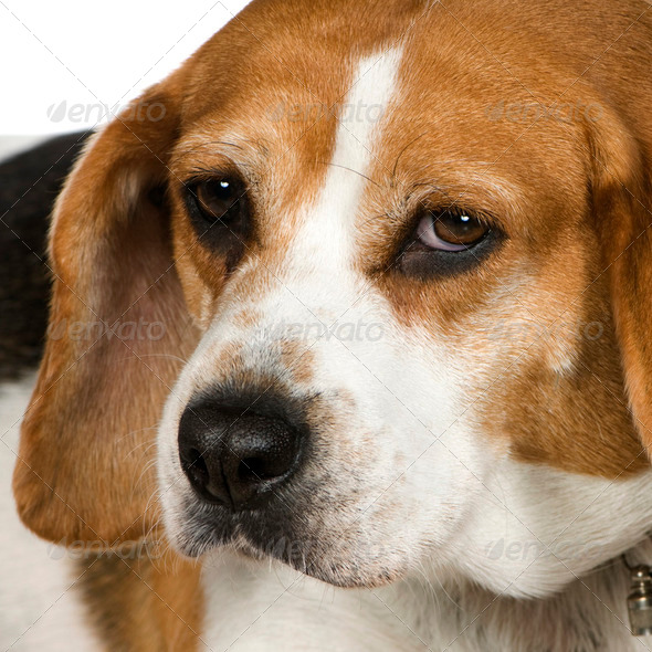 Beagle (3 years) - Stock Photo - Images