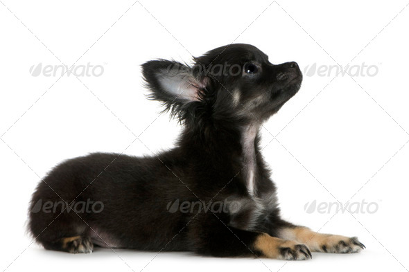 chihuahua (3 months) - Stock Photo - Images