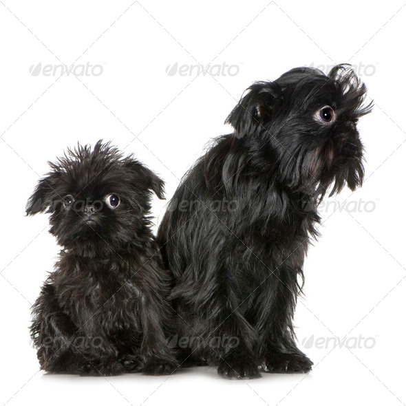 Griffon Bruxellois (3 months and 2 years) - Stock Photo - Images
