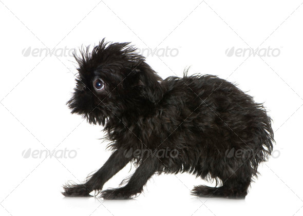 Griffon Bruxellois (3 months) - Stock Photo - Images