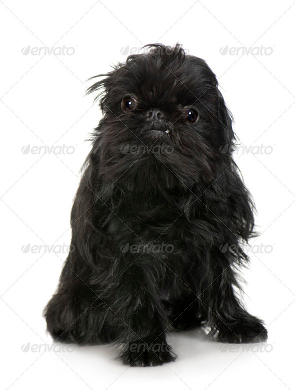Griffon Bruxellois (2 years) - Stock Photo - Images