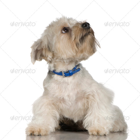 Yorkshire Terrier (18 months) - Stock Photo - Images
