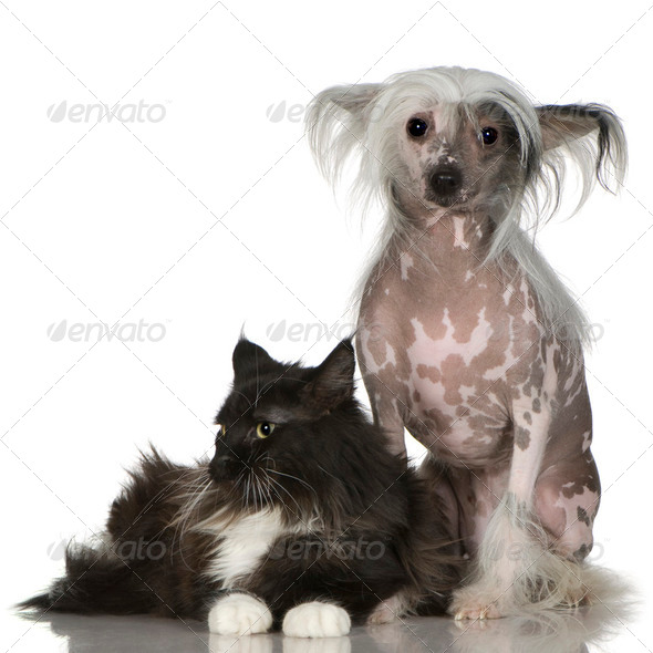Chinese Crested Dog - Hairless and maine coon - Stock Photo - Images