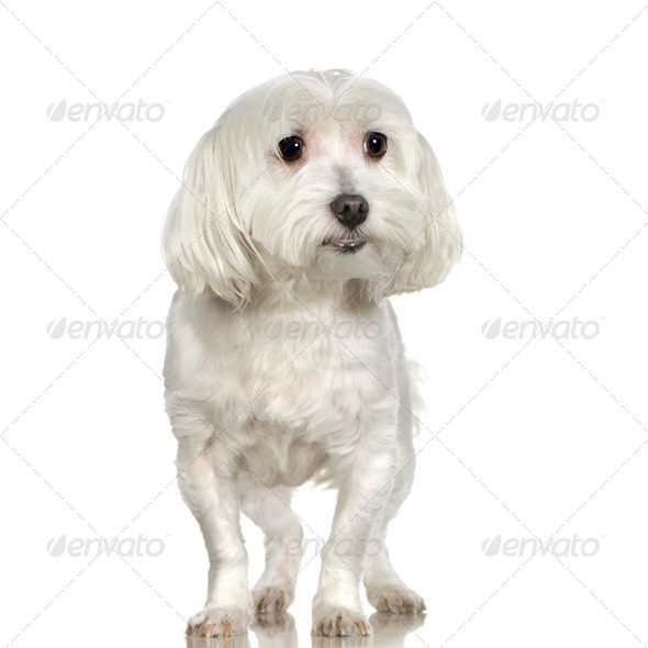 maltese dog (3 years) - Stock Photo - Images