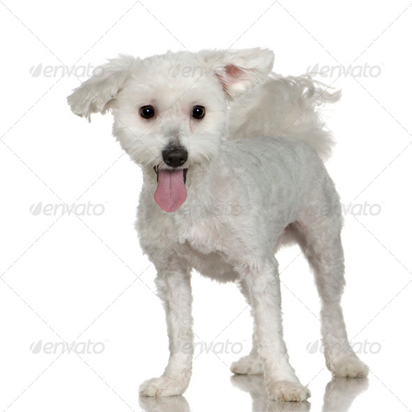 maltese dog (1 year) - Stock Photo - Images