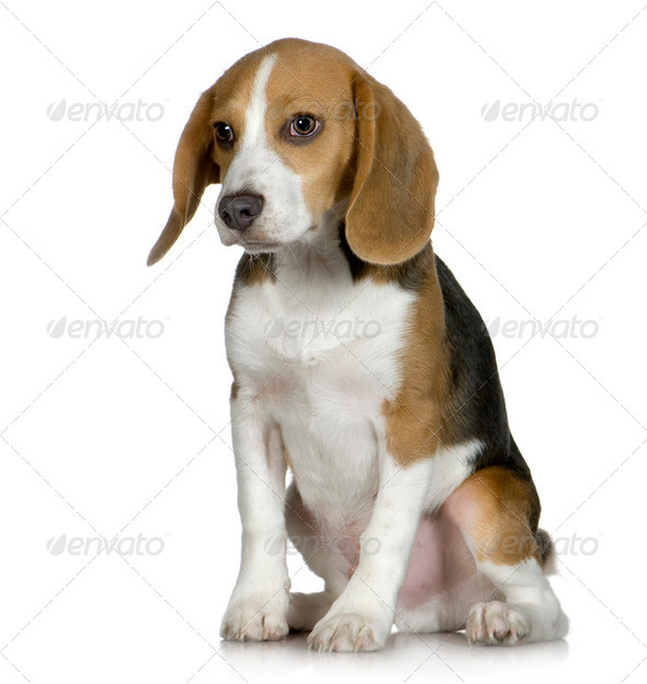 Beagle (5 months) - Stock Photo - Images