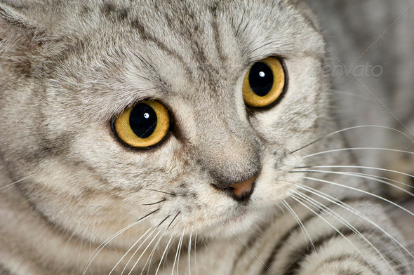 British Shorthair (1 years) - Stock Photo - Images