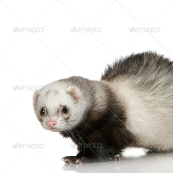 Ferret (1 year) - Stock Photo - Images