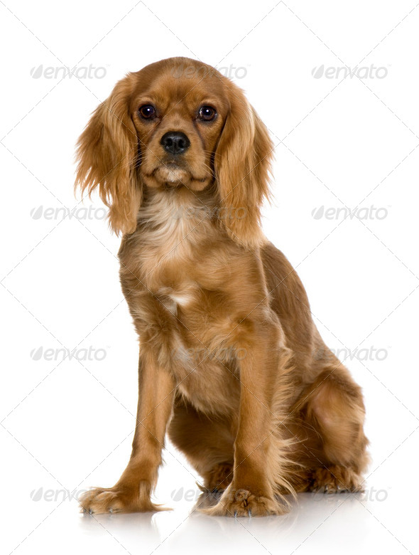 Cavalier King Charles Spaniel (6 months) - Stock Photo - Images