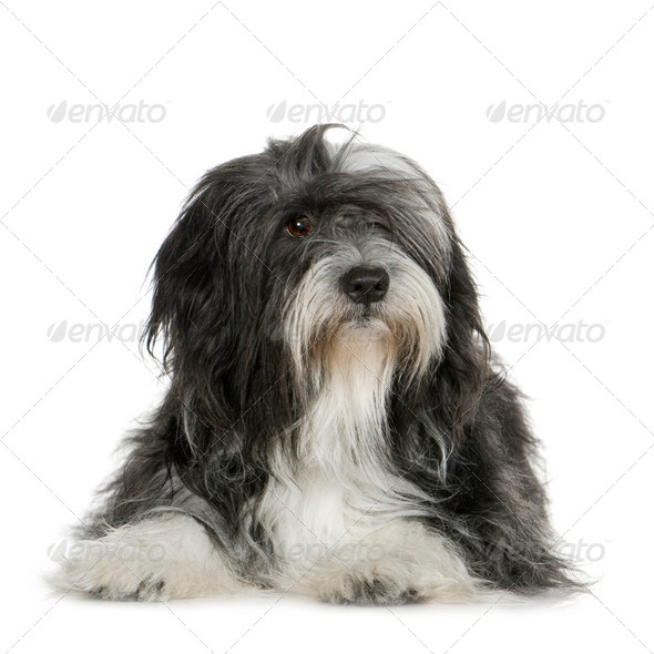 Tibetan Terrier (6 years) - Stock Photo - Images