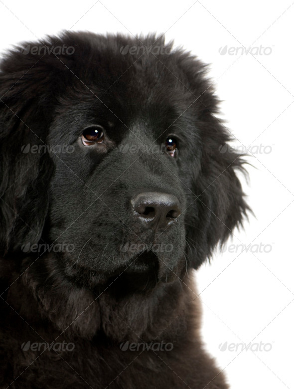 Newfoundland (4 months) - Stock Photo - Images