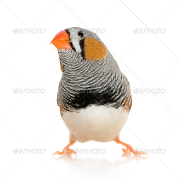 Zebra Finch - Taeniopygia guttata - Stock Photo - Images