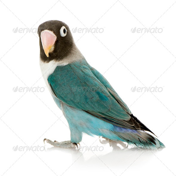 Blue Masked Lovebird - Agapornis personata - Stock Photo - Images