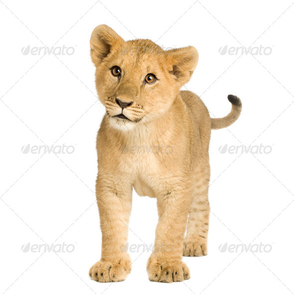 Lion Cub (5 months) - Stock Photo - Images