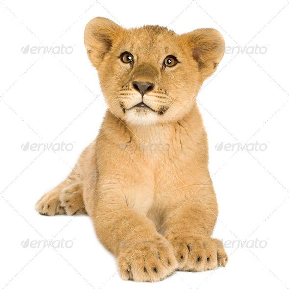 Lion Cub (5 months) - Stock Photo - Images