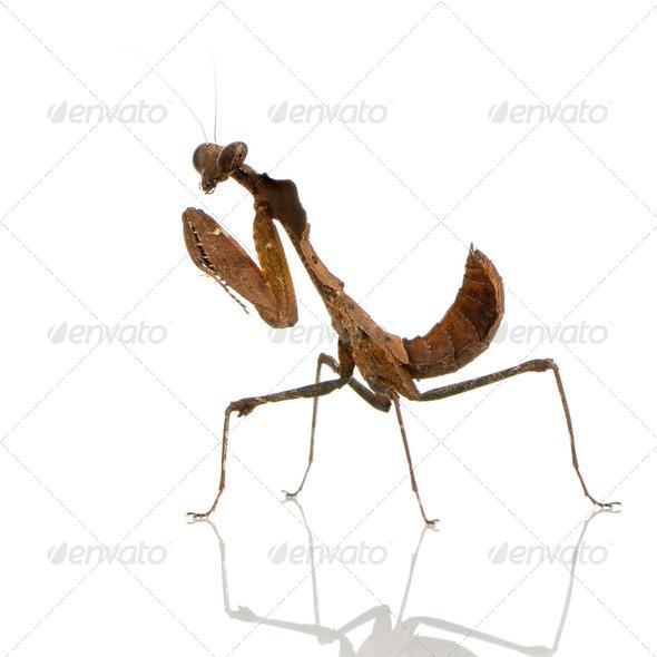 Young praying mantis - Deroplatys desiccata - Stock Photo - Images
