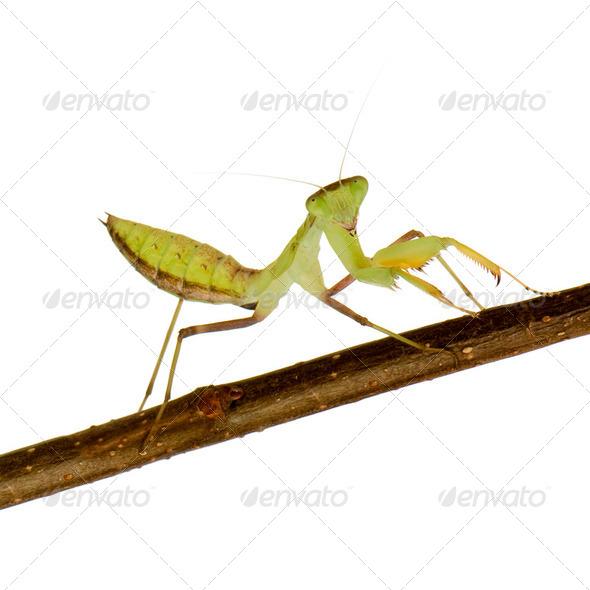 Young praying mantis - Sphodromantis lineola - Stock Photo - Images