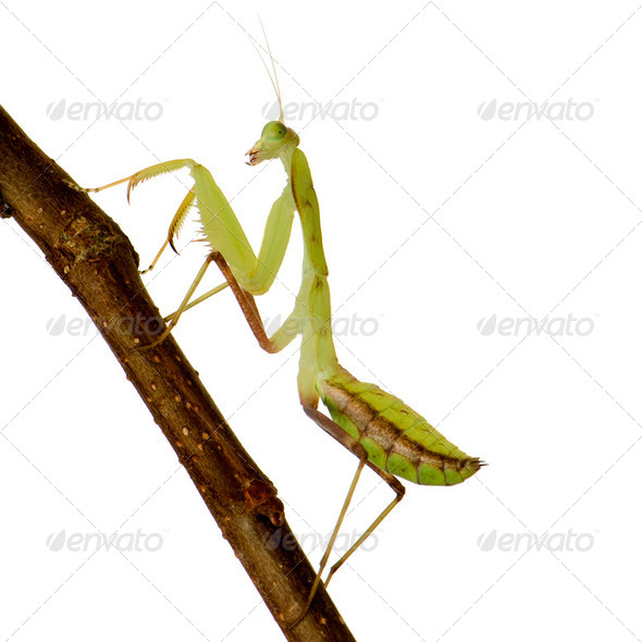 Young praying mantis - Sphodromantis lineola - Stock Photo - Images
