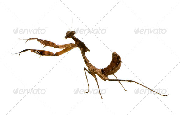 Young praying mantis - Deroplatys desiccata - Stock Photo - Images