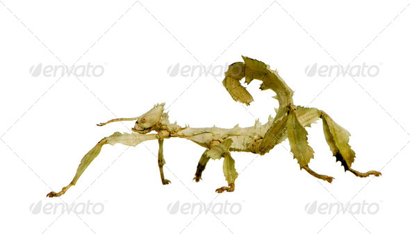 stick insect, Phasmatodea - Extatosoma tiaratum - Stock Photo - Images